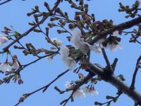 Sakura2_7