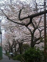 Kandagawasakura2
